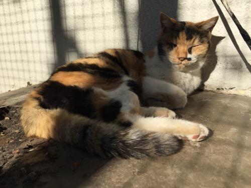 お昼の陽射しの中で壁にもたれて眠る桜田公園の白茶黒の猫