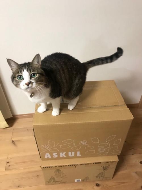 ASKULのダンボール箱に乗る猫-ゆきお