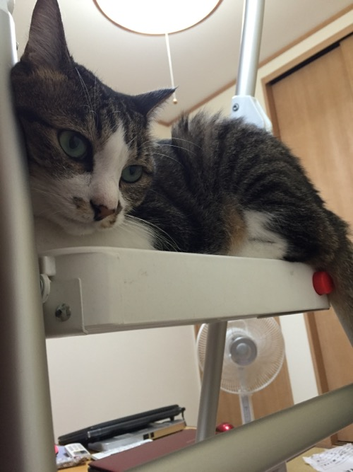 脚立の最上段で座り込み、何かを見下ろす猫-ゆきお
