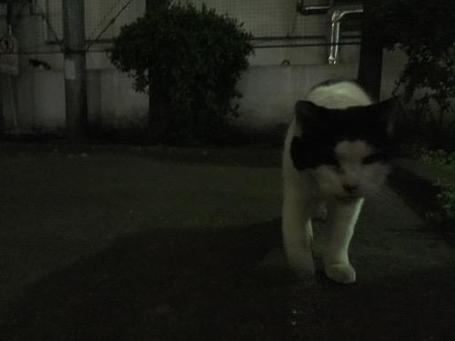 近づいてくる夜の桜田公園の白と黒の猫