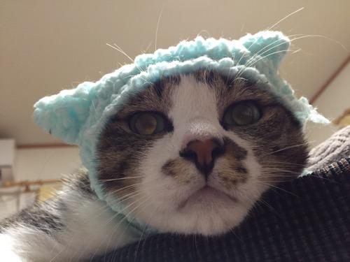 かわいいかわいいねこひつじ(ブルー)の被り物をかぶる猫-ゆきおの顔面ドアップ