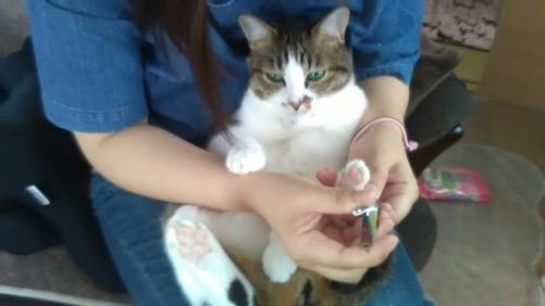 妻に抱っこされて大人しくうつむいて爪を切られる猫-ゆきお