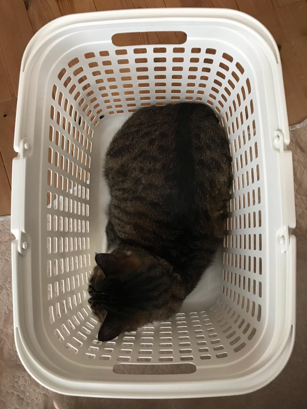 洗濯籠に入った猫-ゆきおを上から眺めた様子