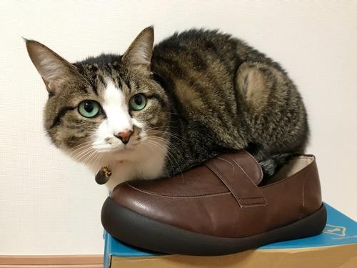 リゲッタカヌーの箱の上に置いた靴の中に尻尾を入れて座る猫-ゆきお