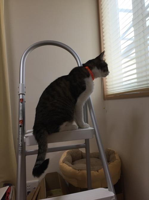 脚立の最上段から窓の外の景色を眺める猫-ゆきお
