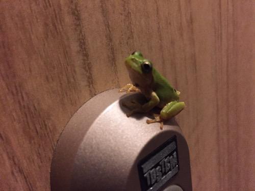 玄関ドアのTOSTEMの鍵穴の上に座るカエル(斜め上より顔をドアップ)