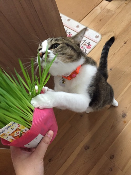 新しい猫草に両前脚でつかみかかり、二足歩行になる猫-ゆきお