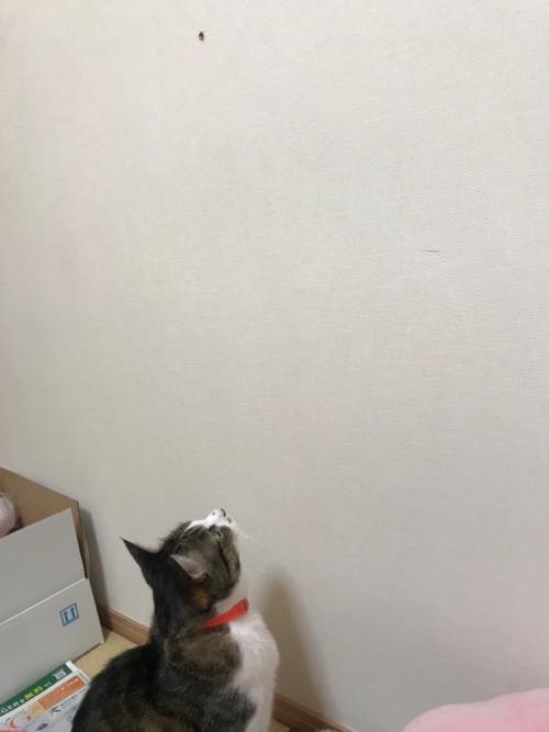 ハエトリグモを見上げる猫-ゆきお