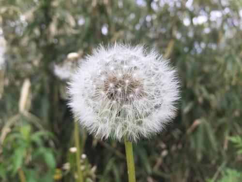 冨士山公園展望台付近のタンポポの白い綿毛