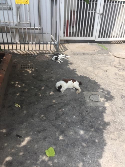 東京都港区新橋の桜田公園のアスファルトの木陰で眠る2匹の白黒猫