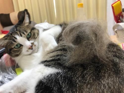 高級猫ブラシ ファーミネーターですくい取られた猫毛の塊に不満そうな猫-ゆきお