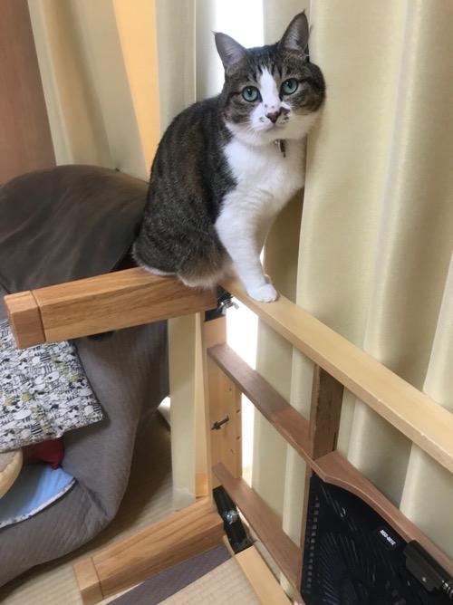 横倒しになったコタツ台の枠のうえで立ち止まって見上げる猫-ゆきお