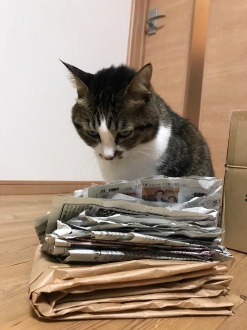 折りたたまれた新聞紙の上に乗って獲物を狙うような怖い視線を送ってくる猫-ゆきお