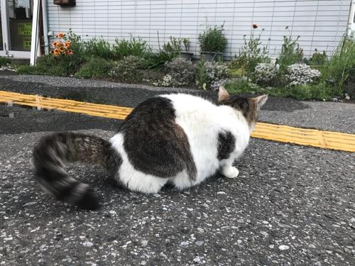 JR袖ケ浦駅前で尻尾をうならせながらお尻を見せて座る猫