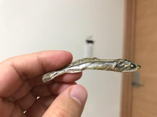 「ヤマキ 徳用 原料原産地 瀬戸内産 酸化防止剤無添加 食べる小魚 煮干魚類」の小魚1匹を手でつまんだ様子