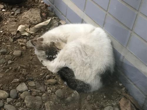 東京都葛飾区金町のアパート前の土の地面の上で丸まって眠る野良猫