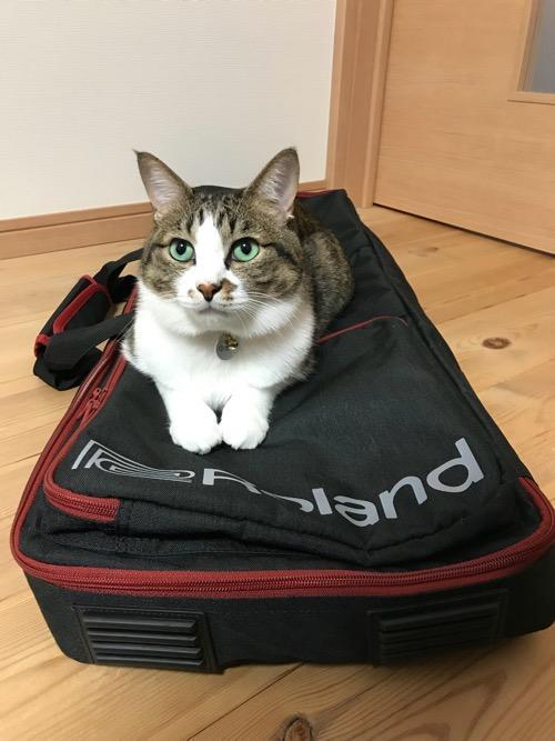 Roland GO:KEYS キーボード運搬用の専用ケース(CB-GO61)の上で両前脚をそろえて可愛らしく見上げている猫-ゆきお