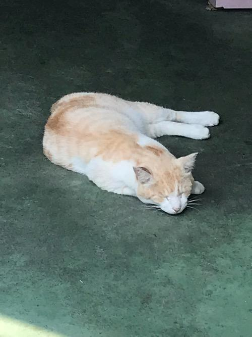 伊豆大島の商店入口で気持ち良さそうに眠る猫(拡大写真)