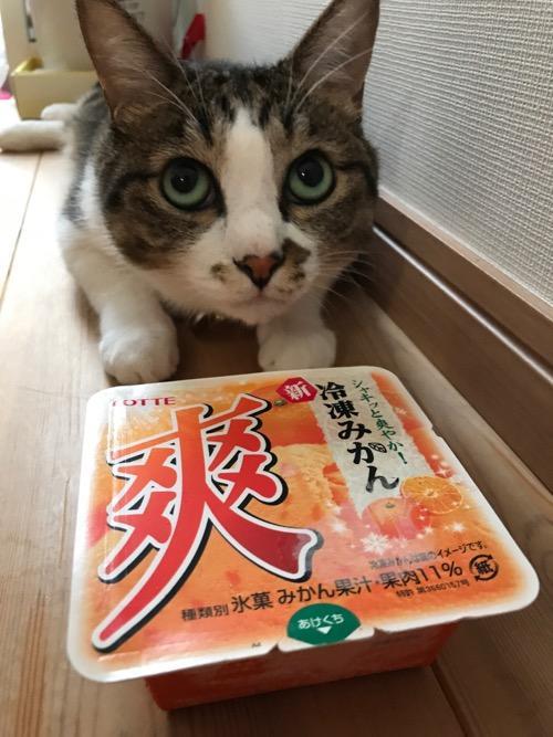 ロッテの冷凍みかんアイス(パッケージ開封前)とアイスに興味なさそうな猫-ゆきお