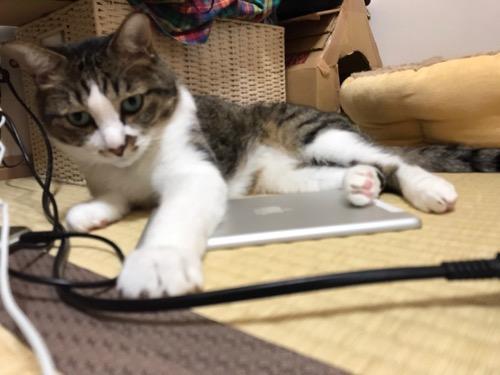 畳の上に転がるiPad mini初代を独占する猫-ゆきお