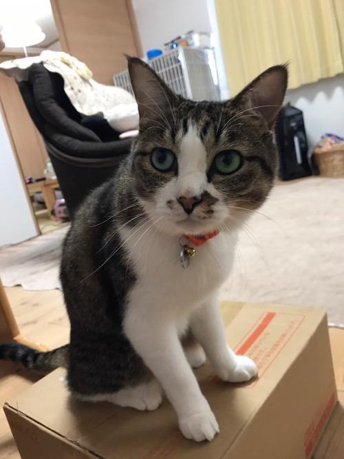 リゲッタカヌーが入っている箱の上に立つ猫-ゆきお