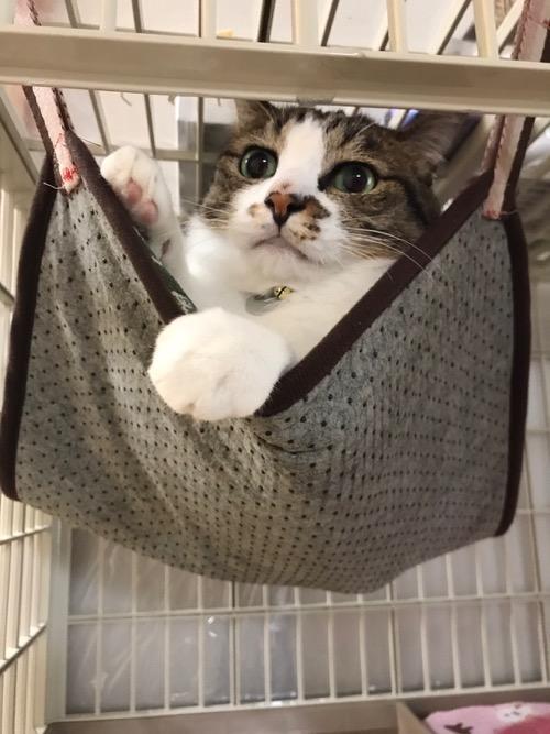 100円ショップ・ダイソーの商品で妻が自作した猫用ハンモックに入れられて左前脚を突き出す猫-ゆきお