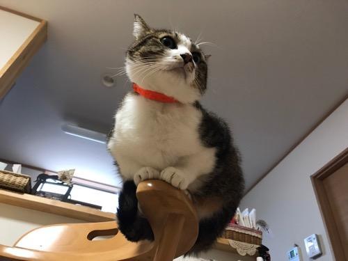 止まり木のようにして椅子の肘掛に座る猫-ゆきお(やや下から見た様子)