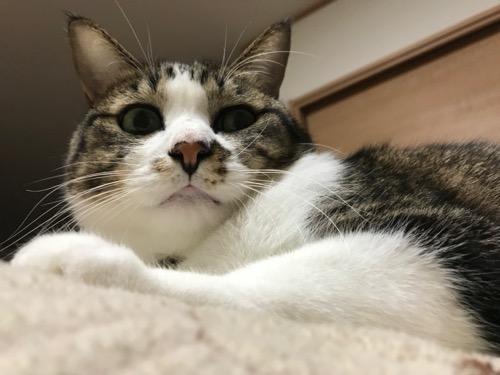 ふてぶてしい態度で顔がまんまるな猫-ゆきお