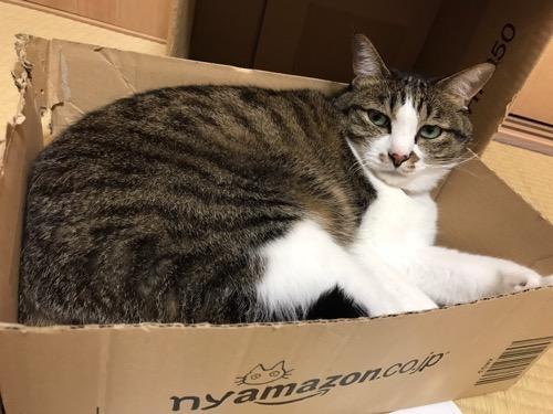 nyamazonの箱の中から顔を上げて見つめてくる猫-ゆきお
