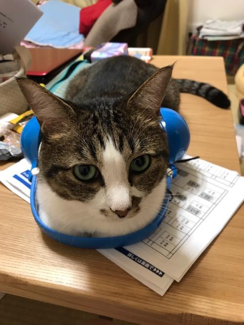 ドラゴンクエスト スライムヘッドフォンを腰に装着して見つめてくる猫-ゆきお