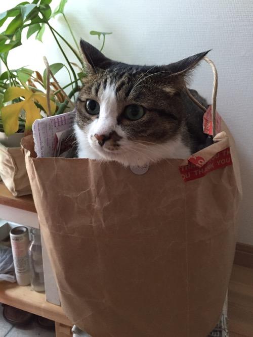 紙ゴミの入った紙袋の中から顔を出す猫-ゆきお(目は合わせてくれない)