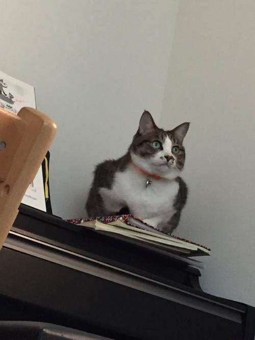 KAWAIの電子ピアノの上から何かを見ている猫-ゆきお