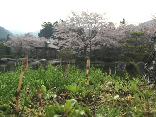 本谷公園の親水広場の池の水辺に生える土筆(つくし)