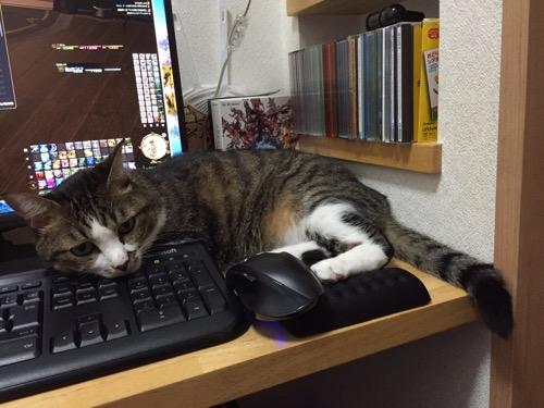 Microsoftキーボードに顎を乗せてゲームを邪魔する猫-ゆきお