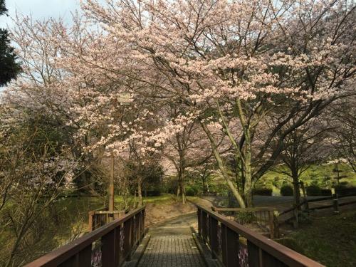 本谷出湯橋から眺めた本谷公園の桜
