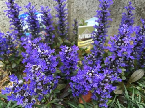 紫色の綺麗な花が咲いたアジュガ チョコレートチップス