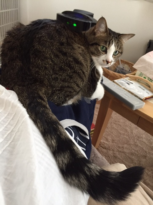 ソファーに座る妻の膝の上に座る猫-ゆきお