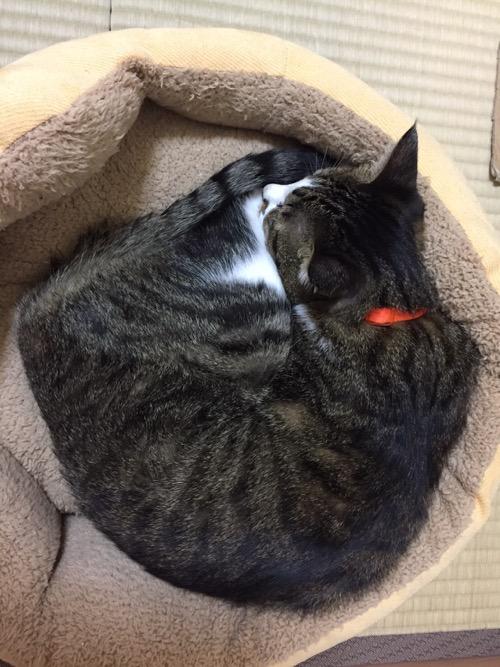 猫ベッドの上で巻貝のようになって眠る猫-ゆきお