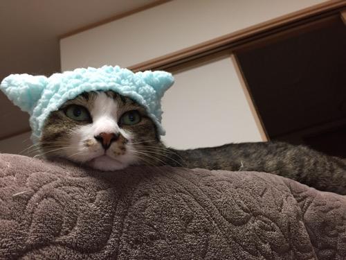 かわいいかわいいねこひつじ(ブルー)の被り物をかぶり、ソファーの背もたれの上に顎をのせる猫-ゆきお