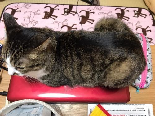 赤い東芝ノートパソコンの蓋の上に乗る猫-ゆきお