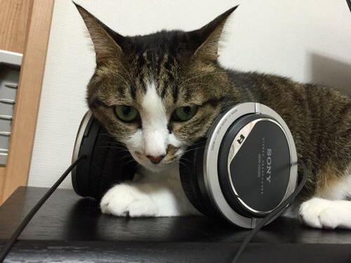 ヘッドホン(SONY STEREO HEADPHONES MDR-XD200)の間に座る猫ーゆきお