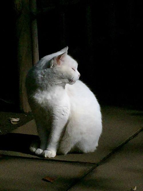 愛宕神社境内にいた白猫の拡大写真