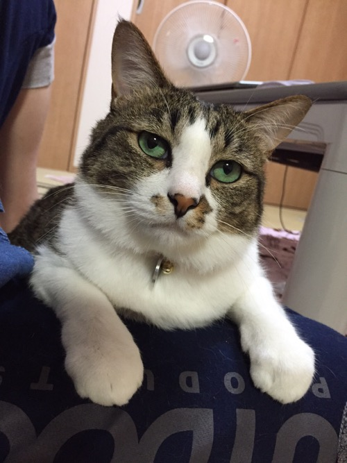 妻の膝上に座り、不機嫌そうな顔で目を合わせない猫-ゆきお