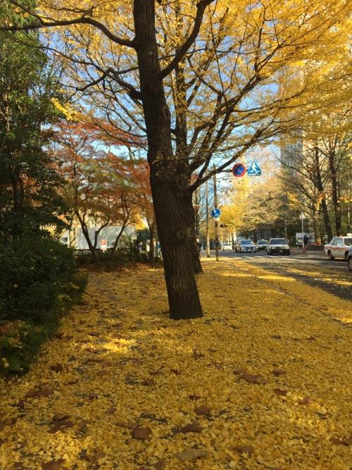 宮城県庁前のイチョウ並木の歩道を厚く覆うイチョウの黄色い落葉