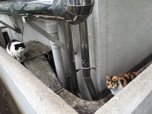 東京都港区新橋の桜田公園の野良猫2匹