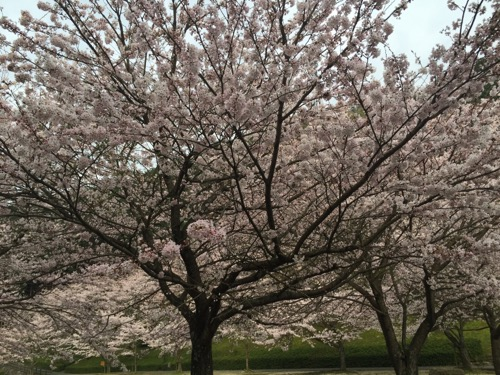 本谷公園の桜の開花状況(2016年4月2日現在)