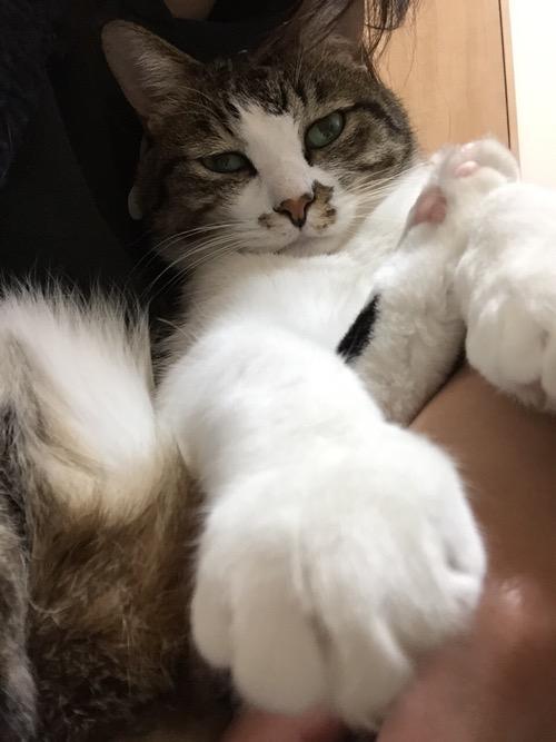 白い右前脚をにょきっと突き出す猫-ゆきお
