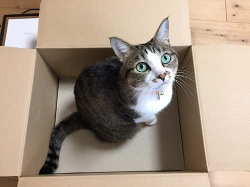 Amazonの箱に入って飼い主を見上げるつぶらな瞳が可愛らしい猫-ゆきお