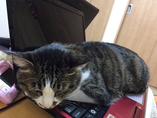 東芝Dynabookのノートパソコンのキーボードの上に座って眠る猫-ゆきお