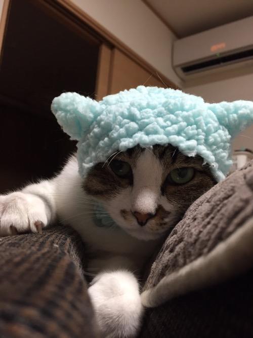 かわいいかわいいねこひつじ(ブルー)の被り物をかぶり、ソファーの背もたれの上で爪を立てながら威嚇する猫-ゆきお